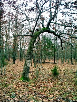 bent-tree.jpg
