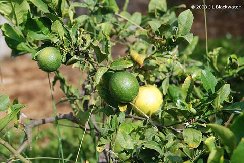 lime tree by Jade Blackwater