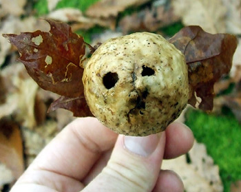 oak apple gall face