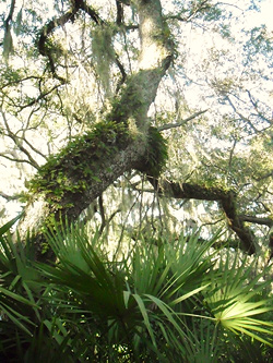 live oak from Rebecca in the Woods