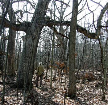 Among white oaks