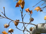 treeaware - tulip tree seeds
