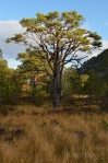 Scots pine in the Ryvoan Pass, Scotland