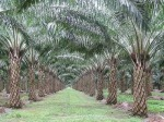Under the Banyan: palm-oil plantation