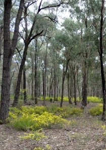 box-ironbark forest by Ian Lunt