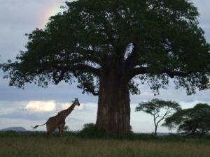 baobab with a giraffe