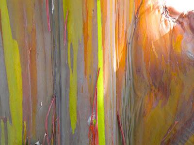 treeaware - rainbow eucalyptus